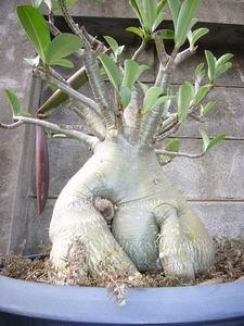 Thai Socotranum (S1 / Golden Bell) | Adeniumseeds com | Thailand's