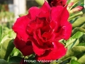 rose-valentines