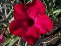 swazicum-flower