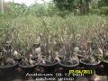 arabicum-10-12-inch-caudex