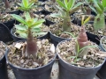 arabicum-bg-seedling