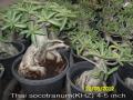 thai-socotranum-khz-4-5-inch